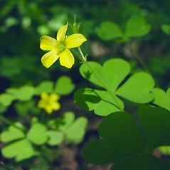 Flowers: Oxalis stricta. ~ By Glen Mittelhauser. ~ Copyright © 2018 Glen Mittelhauser. ~ www.mainenaturalhistory.org