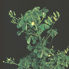 Fruits: Oxalis stricta. ~ By George Lienau. ~ Copyright © 2018 New England Wild Flower Society. ~ Image Request, images[at]newenglandwild.org