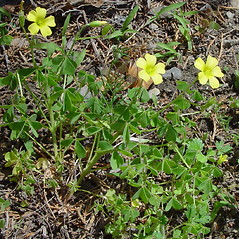 Plant form: Oxalis stricta. ~ By Arthur Haines. ~ Copyright © 2020. ~ arthurhaines[at]wildblue.net
