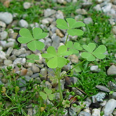 Leaves: Oxalis stricta. ~ By Arthur Haines. ~ Copyright © 2020. ~ arthurhaines[at]wildblue.net