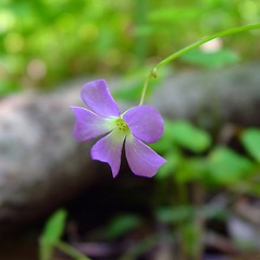 Flowers: Oxalis violacea. ~ By Arthur Haines. ~ Copyright © 2019. ~ arthurhaines[at]wildblue.net