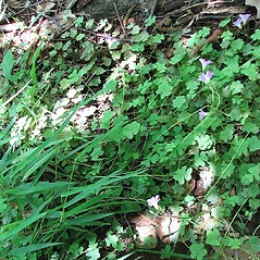 Plant form: Oxalis violacea. ~ By Edward & Anne Dodge. ~ Copyright © 2018 Edward & Anne Dodge. ~ None needed