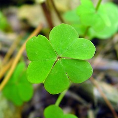 Leaves: Oxalis violacea. ~ By Arthur Haines. ~ Copyright © 2018. ~ arthurhaines[at]wildblue.net