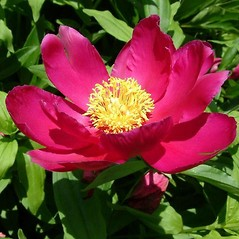 Flowers: Paeonia officinalis. ~ By Louis-M. Landry. ~ Copyright © 2018 Louis-M. Landry. ~ LM.Landry[at]videotron.ca  ~ CalPhotos - calphotos.berkeley.edu/flora/