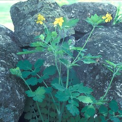 Plant form: Chelidonium majus. ~ By Frank Bramley. ~ Copyright © 2020 New England Wild Flower Society. ~ Image Request, images[at]newenglandwild.org