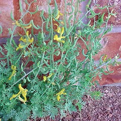 Plant form: Corydalis aurea. ~ By Dale A. Zimmerman Herbarium - Western New Mexico University. ~ Copyright © 2020 Dale A. Zimmerman Herbarium - Western New Mexico University. ~ Dale A. Zimmerman Herbarium - Western New Mexico University ~ Dale A. Zimmerman Herbarium - Western New Mexico U.
