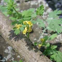 Plant form: Corydalis flavula. ~ By Eleanor Saulys. ~ Copyright © 2018 Eleanor Saulys. ~ sam.saulys[at]comcast.net ~ Connecticut Botanical Society - www.ct-botanical-society.org/