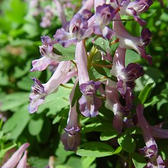 Flowers: Corydalis solida. ~ By Arthur Haines. ~ Copyright © 2019. ~ arthurhaines[at]wildblue.net