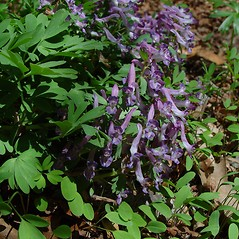 Plant form: Corydalis solida. ~ By Arthur Haines. ~ Copyright © 2019. ~ arthurhaines[at]wildblue.net