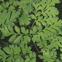 Leaves: Dicentra eximia. ~ By Steven Baskauf. ~ Copyright © 2019 CC-BY-NC-SA. ~  ~ Bioimages - www.cas.vanderbilt.edu/bioimages/frame.htm