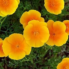 Flowers: Eschscholzia californica. ~ By Paul S. Drobot. ~ Copyright © 2020 Paul S. Drobot. ~ www.plantstogrow.com, www.plantstockphotos.com ~ Robert W. Freckmann Herbarium, U. of Wisconsin-Stevens Point