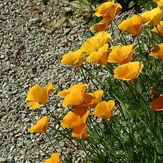 Plant form: Eschscholzia californica. ~ By Paul S. Drobot. ~ Copyright © 2020 Paul S. Drobot. ~ www.plantstogrow.com, www.plantstockphotos.com ~ Robert W. Freckmann Herbarium, U. of Wisconsin-Stevens Point