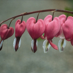 Flowers: Lamprocapnos spectabilis. ~ By David Heppert. ~ Copyright © 2017 New England Wild Flower Society. ~ Image Request, images[at]newenglandwild.org
