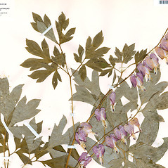 Leaves: Lamprocapnos spectabilis. ~ By CONN Herbarium. ~ Copyright © 2017 CONN Herbarium. ~ Requests for image use not currently accepted by copyright holder ~ U. of Connecticut Herbarium - bgbaseserver.eeb.uconn.edu/