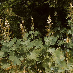 Plant form: Macleaya cordata. ~ By Richard A. Howard. ~ Copyright © 2017 Richard A. Howard Image Collection, courtesy of the Smithsonian Institution . ~ For permission and usage agreements: http://botany.si.edu/PlantImages ~ Courtesy of Smithsonian Institution, National Museum of Natural History, Department of Botany, Plant Image Collection; botany.si.edu/PlantImages/