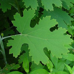 Leaves: Macleaya cordata. ~ By Arthur Haines. ~ Copyright © 2018. ~ arthurhaines[at]wildblue.net