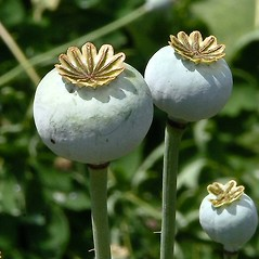 Fruits: Papaver somniferum. ~ By Paul S. Drobot. ~ Copyright © 2017 Paul S. Drobot. ~ www.plantstogrow.com, www.plantstockphotos.com ~ Robert W. Freckmann Herbarium, U. of Wisconsin-Stevens Point