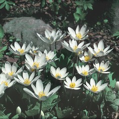 Flowers: Sanguinaria canadensis. ~ By Frank Bramley. ~ Copyright © 2019 New England Wild Flower Society. ~ Image Request, images[at]newenglandwild.org