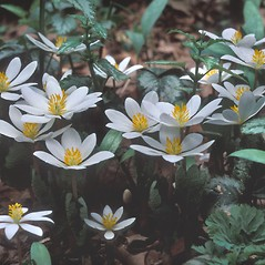 Plant form: Sanguinaria canadensis. ~ By Dorothy Long. ~ Copyright © 2017 New England Wild Flower Society. ~ Image Request, images[at]newenglandwild.org