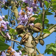 Fruits: Paulownia tomentosa. ~ By Charles Brun. ~ Copyright © 2017. ~ brunc[at]wsu.edu ~ Pacific Northwest Plants - www.pnwplants.wsu.edu/