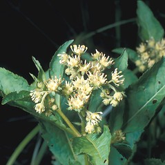 Flowers: Penthorum sedoides. ~ By Frank Bramley. ~ Copyright © 2018 New England Wild Flower Society. ~ Image Request, images[at]newenglandwild.org