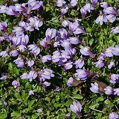 Flowers: Mazus miquelii. ~ By Paul S. Drobot. ~ Copyright © 2018 Paul S. Drobot. ~ www.plantstogrow.com, www.plantstockphotos.com ~ Robert W. Freckmann Herbarium, U. of Wisconsin-Stevens Point