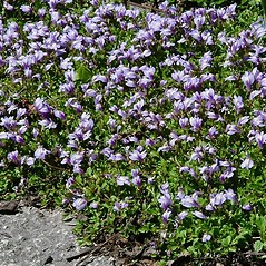 Plant form: Mazus miquelii. ~ By Paul S. Drobot. ~ Copyright © 2017 Paul S. Drobot. ~ www.plantstogrow.com, www.plantstockphotos.com ~ Robert W. Freckmann Herbarium, U. of Wisconsin-Stevens Point
