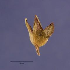 Fruits: Mazus pumilus. ~ By Jose Hernandez. ~  Public Domain. ~  ~ USDA-NRCS Plants Database - plants.usda.gov/java/