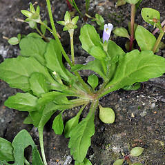 Leaves: Mazus pumilus. ~ By Gerry Carr. ~ Copyright © 2019 Gerry Carr. ~ gdcarr[at]comcast.net ~ Oregon Flora Image Project - www.botany.hawaii.edu/faculty/carr/ofp/ofp_index.htm