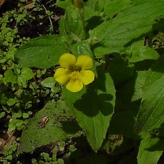 Flowers: Mimulus moschatus. ~ By Arthur Haines. ~ Copyright © 2020. ~ arthurhaines[at]wildblue.net