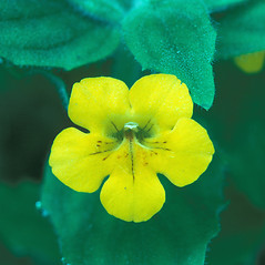 Flowers: Mimulus moschatus. ~ By William Larkin. ~ Copyright © 2020 New England Wild Flower Society. ~ Image Request, images[at]newenglandwild.org