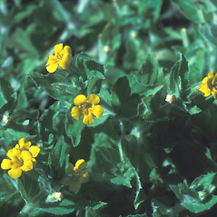 Plant form: Mimulus moschatus. ~ By Dorothy Long. ~ Copyright © 2020 New England Wild Flower Society. ~ Image Request, images[at]newenglandwild.org