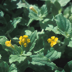 Leaves: Mimulus moschatus. ~ By John Lynch. ~ Copyright © 2020 New England Wild Flower Society. ~ Image Request, images[at]newenglandwild.org