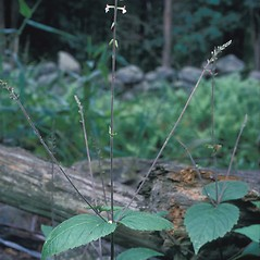 Plant form: Phryma leptostachya. ~ By Frank Bramley. ~ Copyright © 2020 New England Wild Flower Society. ~ Image Request, images[at]newenglandwild.org