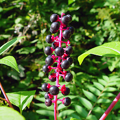 Fruits: Phytolacca americana. ~ By Arthur Haines. ~ Copyright © 2020. ~ arthurhaines[at]wildblue.net