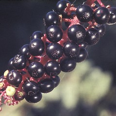 Fruits: Phytolacca americana. ~ By Adelaide Pratt. ~ Copyright © 2019 New England Wild Flower Society. ~ Image Request, images[at]newenglandwild.org