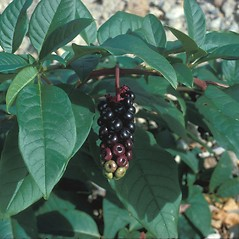 Leaves: Phytolacca americana. ~ By Frank Bramley. ~ Copyright © 2019 New England Wild Flower Society. ~ Image Request, images[at]newenglandwild.org