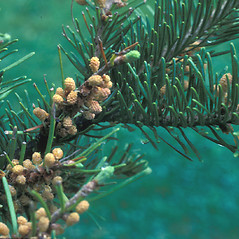 Flowers: Abies balsamea. ~ By Frank Bramley. ~ Copyright © 2020 New England Wild Flower Society. ~ Image Request, images[at]newenglandwild.org