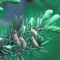 Flowers: Abies balsamea. ~ By Jean Baxter. ~ Copyright © 2019 New England Wild Flower Society. ~ Image Request, images[at]newenglandwild.org