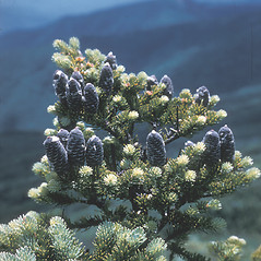 Fruits: Abies balsamea. ~ By Dick Stiles. ~ Copyright © 2019 New England Wild Flower Society. ~ Image Request, images[at]newenglandwild.org