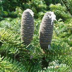 Fruits: Abies balsamea. ~ By Jill Weber. ~ Copyright © 2020 Jill Weber. ~ jillweber03[at]gmail.com