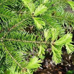Leaves: Abies balsamea. ~ By Arthur Haines. ~ Copyright © 2018. ~ arthurhaines[at]wildblue.net