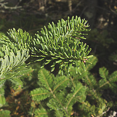 Leaves: Abies balsamea. ~ By Donald Cameron. ~ Copyright © 2018 Donald Cameron. ~ No permission needed for non-commercial uses, with proper credit