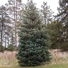 Plant form: Abies concolor. ~ By Paul S. Drobot. ~ Copyright © 2017 Paul S. Drobot. ~ www.plantstogrow.com, www.plantstockphotos.com ~ Robert W. Freckmann Herbarium, U. of Wisconsin-Stevens Point