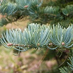 Leaves: Abies concolor. ~ By Paul S. Drobot. ~ Copyright © 2019 Paul S. Drobot. ~ www.plantstogrow.com, www.plantstockphotos.com ~ Robert W. Freckmann Herbarium, U. of Wisconsin-Stevens Point