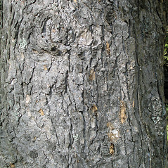 Bark: Abies homolepis. ~ By Bruce Patterson. ~ Copyright © 2019 Bruce Patterson. ~ foxpatterson[at]comcast.net