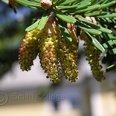Flowers: Abies homolepis. ~ By Polly Ryan-Lane. ~ Copyright © 2017 Polly Ryan-Lane, Courtesy of Smith College, Michael Marcotrigiano [mmarcot[at]smith.edu]. ~ Michael Marcotrigiano, mmarcotr[at]smith.edu ~ The Botanic Garden of Smith College - www.smith.edu/garden/home.html
