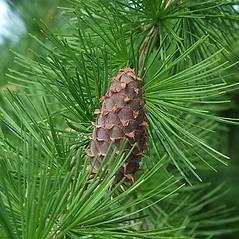 Fruits: Larix decidua. ~ By Paul S. Drobot. ~ Copyright © 2017 Paul S. Drobot. ~ www.plantstogrow.com, www.plantstockphotos.com ~ Robert W. Freckmann Herbarium, U. of Wisconsin-Stevens Point