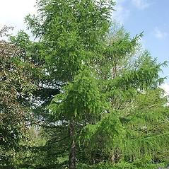 Plant form: Larix decidua. ~ By Paul S. Drobot. ~ Copyright © 2019 Paul S. Drobot. ~ www.plantstogrow.com, www.plantstockphotos.com ~ Robert W. Freckmann Herbarium, U. of Wisconsin-Stevens Point