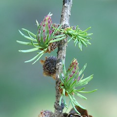Flowers: Larix laricina. ~ By Arieh Tal. ~ Copyright © 2018 Arieh Tal. ~ http://botphoto.com/ ~ Arieh Tal - botphoto.com